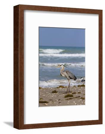 Cameron County, Texas. Great Blue Heron, Ardea Herodias, Feeding