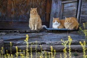 Cat, Felis catus, sitting on porch of old house by Larry Ditto