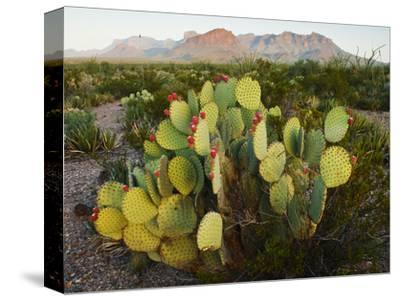 Chisos Mountains and Prickly Pear Cactus, Big Bend National Park, Brewster Co., Texas, Usa