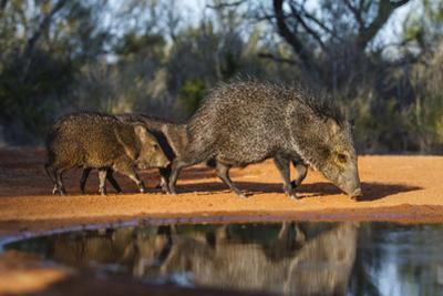 Collared Peccary Family at Pond by Larry Ditto