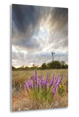 Dense Blazing Star (Liatris) and Windmill on Texas Prairie, Texas, USA