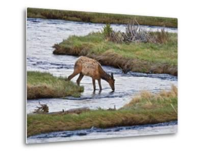 Elk Drinking in Stream, Rocky Mountain National Park, Colorado, USA
