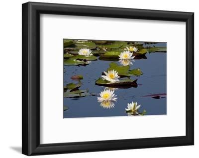 Fragrant Water Lily (Nymphaea Odorata) on Caddo Lake Texas, USA