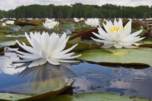 Fragrant Water Lily (Nymphaea Odorata) on Caddo Lake, Texas, USA by Larry Ditto