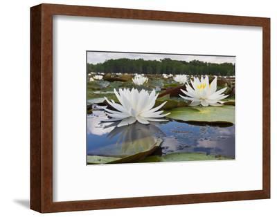 Fragrant Water Lily (Nymphaea Odorata) on Caddo Lake, Texas, USA