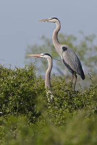 Great Blue Heron (Ardea Herodias) Bird, Pair in Habitat, Texas, USA by Larry Ditto
