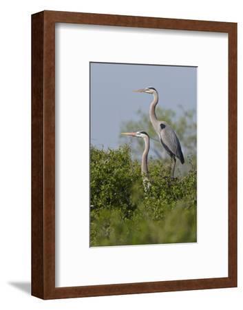 Great Blue Heron (Ardea Herodias) Bird, Pair in Habitat, Texas, USA