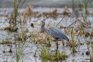 Great Blue Heron with Fish by Larry Ditto
