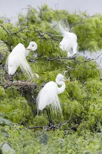 Great Egret Displaying Breeding Plumage at Nest Colony by Larry Ditto
