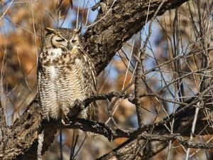 Great Horned Owl (Bubo Virginianus) Sleeping on Perch in Willow Tree, New Mexico, USA by Larry Ditto