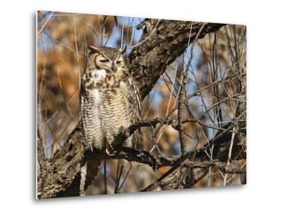 Great Horned Owl (Bubo Virginianus) Sleeping on Perch in Willow Tree, New Mexico, USA