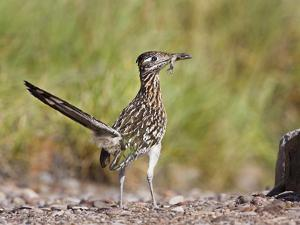 Greater Roadrunner, Texas, USA by Larry Ditto