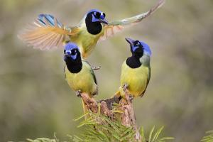 Green Jay, Cyanocorax Yncas, fighting for a perch by Larry Ditto