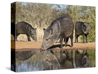 Herd Drinking at Ranch Pond, Pecari Tajacu, Collared Peccary, Starr Co., Texas, Usa