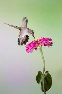 Jeff Davis County, Texas. Black Chinned Hummingbird Feeding at Zinnia by Larry Ditto