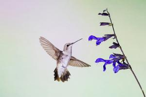 Jeff Davis County, Texas. Black Chinned Hummingbird on Penstemon by Larry Ditto
