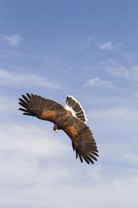 Kendall County, Texas. Harriss Hawk Landing, Captive Bird by Larry Ditto