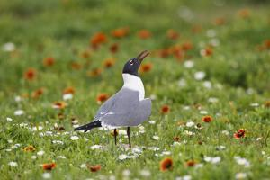 Laughing Gull, Larus atricilla, breeding activity by Larry Ditto