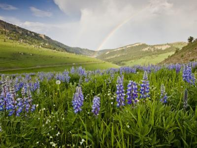 Lupines in Bloom and Rainbow After Rain, Bighorn Mountains, Wyoming, USA