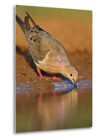 Mourning Dove, Texas, USA