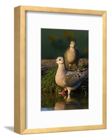 Mourning Doves (Zeaida Macroura) Pair
