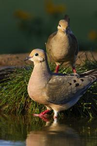 Mourning Doves (Zeaida Macroura) Pair by Larry Ditto