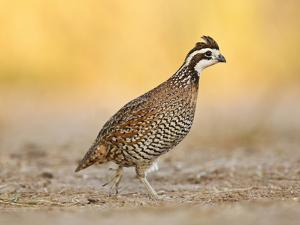 Northern Bobwhite Quail, Texas, USA by Larry Ditto