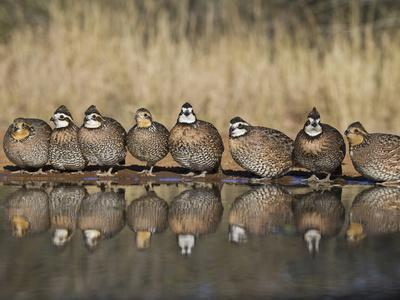 Northern Bobwhite, Texas, USA