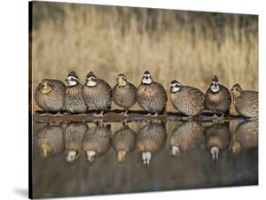Northern Bobwhite, Texas, USA by Larry Ditto