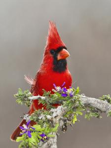 Northern Cardinal, Texas, USA by Larry Ditto