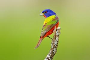 Painted Bunting male perched. by Larry Ditto