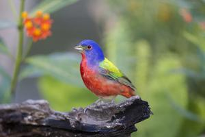 Painted Bunting (Passerina Ciris) Male Perched by Larry Ditto