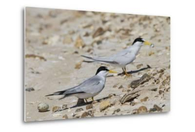 Port Isabel, Texas. Least Tern Beside Egg at Nest Colony
