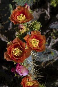 Prickly pear (Opuntia lindheimeri) cactus in bloom. by Larry Ditto