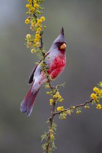 Pyrrhuloxia perched. by Larry Ditto