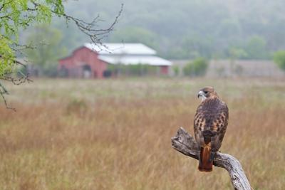 Red-tailed Hawk perched.