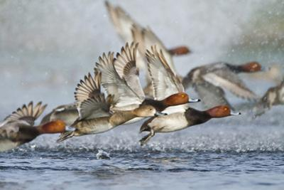 Redhead Duck Flock Flying from Freshwater Pond, Texas, USA