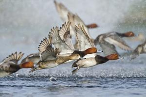 Redhead Duck Flock Flying from Freshwater Pond, Texas, USA by Larry Ditto