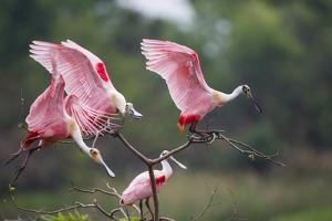 Roseate Spoonbill (Ajaia Ajaja) Landing on Perch at High Island, Texas by Larry Ditto