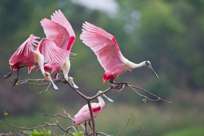 Roseate Spoonbills landing in near nests.
