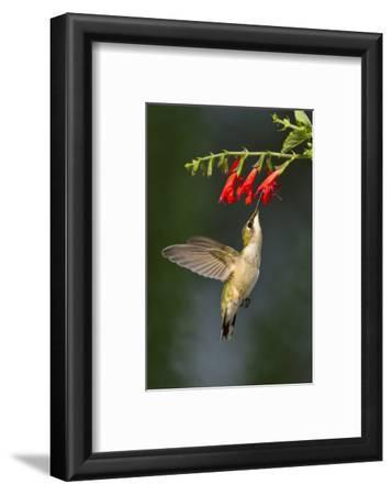 Ruby-Throated Hummingbird (Archilochus Colubris) Feeding, Texas, USA