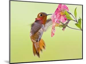 Rufous Hummingbird Feeding in a Flower Garden, British Columbia, Canada by Larry Ditto
