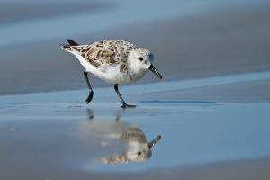 Sanderling feeding on wet beach. by Larry Ditto