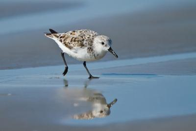 Sanderling feeding on wet beach.