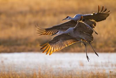 Sandhill Cranes Landing at Roosting Marsh