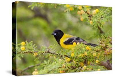 Santa Clara Ranch, Starr County, Texas. Audubons Oriole Perched