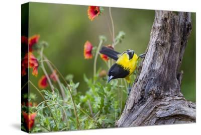 Santa Clara Ranch, Starr County, Texas. Audubons Oriole
