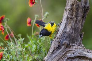 Santa Clara Ranch, Starr County, Texas. Audubons Oriole by Larry Ditto