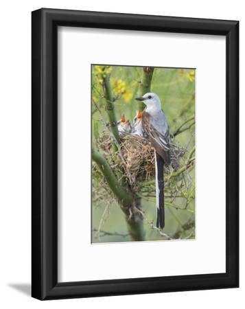 Scissor-Tailed Flycatcher Adult with Babies at Nest