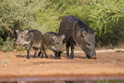 Starr County, Texas. Collared Peccary Family in Thorn Brush Habitat
